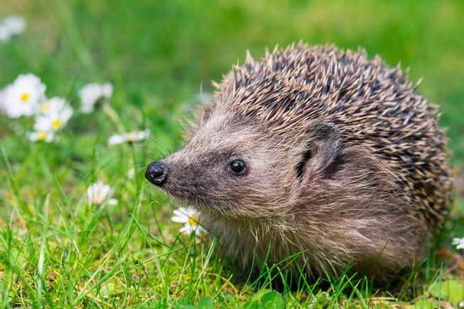 BH Hedgehog-Flowers-Meadow-Field.jpg.653x0_q80_crop-smart