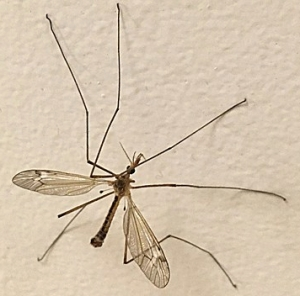 BH crane fly