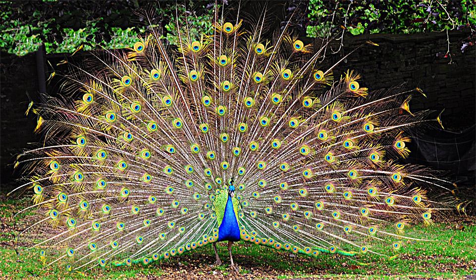 peacock-display